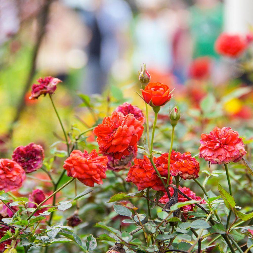 La rosa rugosa: curiosità