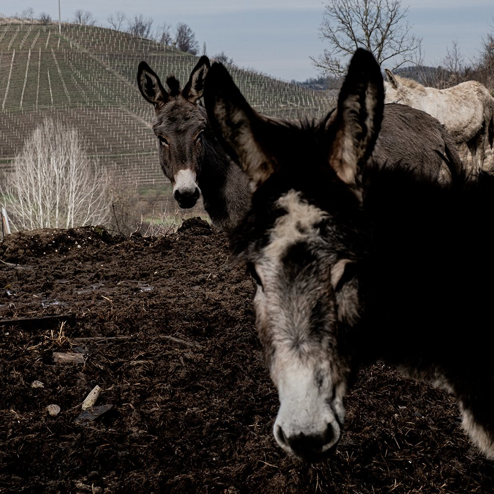 A closed cycle from the vineyard to the hay (and back)<